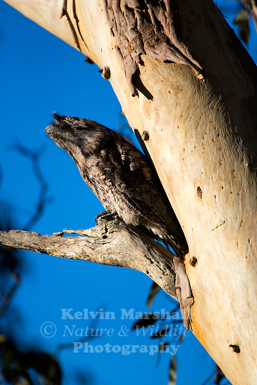 The Tawny Frogmouth, Podargus strigoides, is an Australian variety of frogmouth, a type of bird found throughout the Australian mainland, Tasmania and southern New Guinea. The Tawny Frogmouth is often thought to be an owl. Many Australians incorrectly refer to the Tawny Frogmouth by the colloquial names of &quot;Mopoke&quot; or &quot;Morepork&quot;, however, these are actually common alternate names for the Southern Boobook Owl.<br /> <br /> Males and females look alike, and are 35-50 cm long. They have yellow eyes and a wide beak topped with a tuft of bristly feathers. They make loud clacking sounds with their beaks and emit a reverberating booming call.