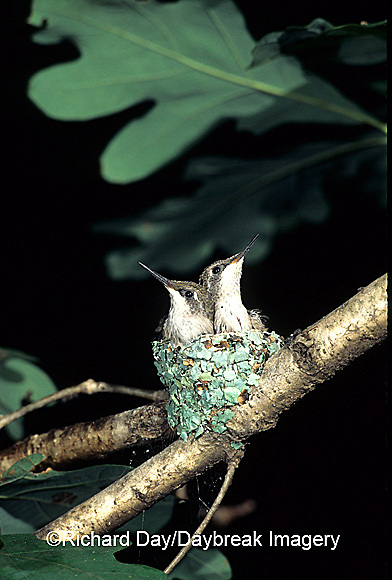 01162-021.01 Ruby-throated Hummingbird (Archilochus colubris) nestlings, Marion Co.   IL