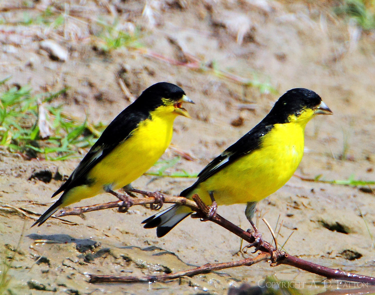 Pair of male lesser goldfinches