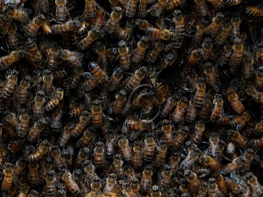 Social insect- multitude of bees in the hive: In the hive, the apis mellifera bees coexist peacefully despite a very large population. This cohabitation is not common to all bees. There exist many forms of social relations amongst the 20,000 bee species that populate the planet. From solitary bees to stingless bees who more or less share their nest but with more competition between individuals./Dans la ruche, les abeilles apis mellifera cohabitent pacifiquement malgré une population très importante. Cette cohabitation n'est pas commune à toutes les abeilles. Il existe des formes multiples de rapports sociaux chez les 20 000 abeilles qui peuplent la planète. Des abeilles solitaires aux abeilles sans-dard qui partagent plus ou moins leur nid avec plus de concurrence entre individus.