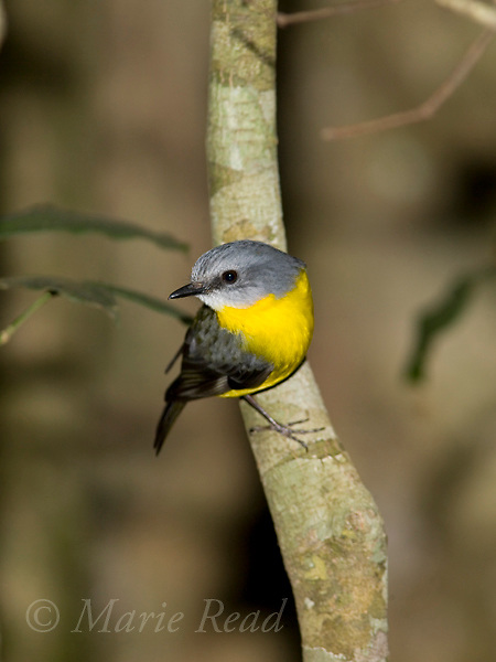 Eastern Yellow Robin (Eopsaltria australis), Lamington National Park, Queensland, Australia
