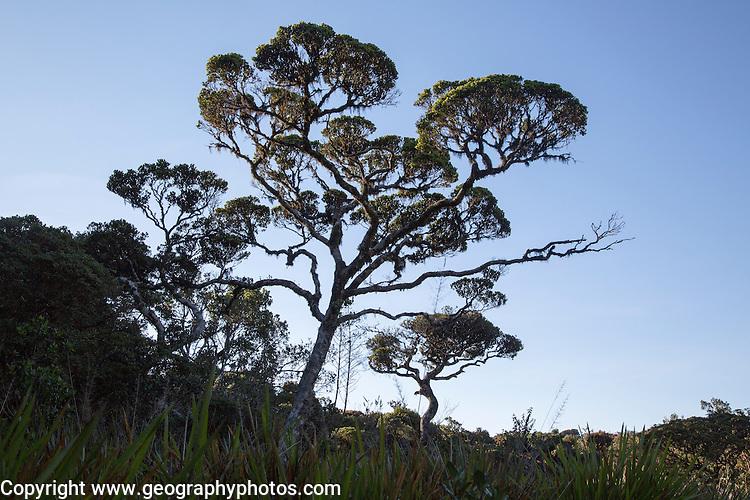 Cloud forest tree against blue sky,Horton Plains national park, Sri Lanka, Asia