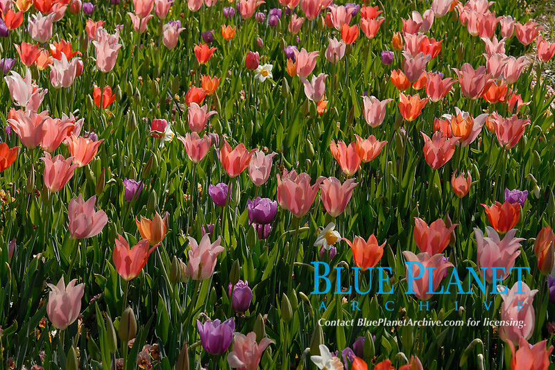 Flower bed of pink and purple tulip flowers blooming in the Dallas Arboretum Park, Texas, USA, United States. This is a seasonal perennial plant that blossoms in the garden or in nature during Spring.