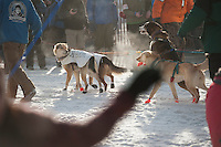 Dog teams advance to the starting line at the ceremonial start of the 2014 Iditarod Dogsled Race in downtown Anchorage, Alaska. Sixty-nine mushers paraded their teams through Anchorage today and will depart from the official start in Willow tomorrow to begin the 975-mile race to Nome.