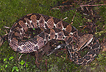 Picado's Jumping Pitviper Snake, Atropoides picadoi,  venomous, Costa Rica, on forest floor, camouflaged.Central America....