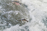 Coho or Silver Salmon (Oncorhynchus kisutch) attempting to jump falls while on fall spawning migration up freshwater river.  Pacific Northwest.