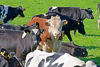 A Hereford bull running with the herd.