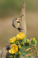 597900029 a wild  male golden-fronted woodpecker melenerpes aurifrons perches on a dead stump on dos venadas ranch in the rio grande valley of south texas