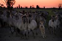 Konik horses at dusk. Oostvaardersplassen, Netherlands. Mission: Oostervaardersplassen, Netherlands, June 2009.