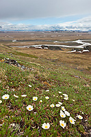 Mountain avens blooming on the slopes of Puvakrat mountain, Brooks Range, Etivluk River, National Petroleum Reserve, Alaska.