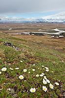 Mountain avens blooming on the slopes of Puvakrat mountain, Brooks Range, Etivluk River, National Petroleum Reserve, Alaska.