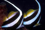 Heniochus acuminatus; longfin bannerfish; pair