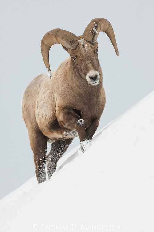 A portrait of a bighorn sheep ram in Yellowstone National Park, Wyoming.