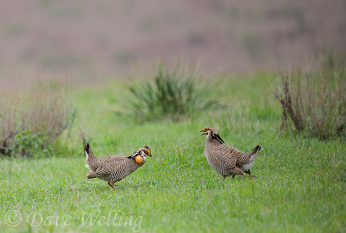 572110194 two wild male lesser prairie chickens tympanuchus pallidicintus display and challenge each other on a lek on a remote ranch near canadian in the texas panhandle