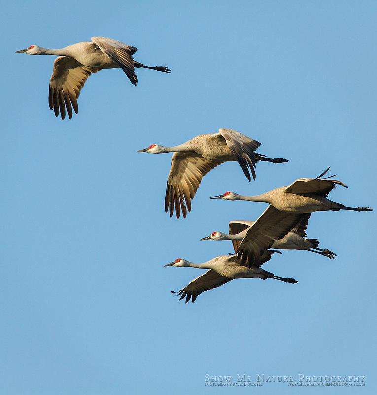 Sandhill Cranes leaving the river roost for foraging in fields