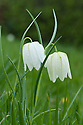 White snake's head fritillary (Fritillaria Meleagris), mid April.