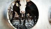 """Mead, Kansas, USA, August 2011:.Cattle in a truck, to be transported to meat packing plant from a feedyard.   Millions of cows are gaining weight in feedyards across the region, where four huge meatpacking plants of National Beef, Cargill and Tyson slaughter and process about 20 thousand cattle a day. Kansas dominates American beef industry, by producing one quarter of all beef in the USA..(Photo by Piotr Malecki / Napo Images)..Mead, Kansas, Stany Zjednoczone, Sierpien 2011:.Bydlo w ciezarowce w jednej z tuczarni zwanych """"feedyards"""". W tym rejonie jest mnostwo takich tuczarni, by zaopatrywac cztery wielkie zaklady miesne nalezace do firm National Beef, Cargill i Tyson. Zaklady te przerabiaja razem okolo 20 tysiace sztuk bydla dziennie.  Stan Kansas zdominowal rynek wolowiny w Stanach Zjednoczonych, produkujac jedna czwarta calej amerykanskiej wolowiny. Amerykanski przemysl miesny jest bardzo uzalezniony od taniej sily roboczej, ktora daja emigranci..Fot: Piotr Malecki / Napo Images."""