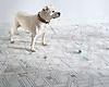 Taylor the English Bulldog plays fetch on a New Ravenna Hector Grand floor.