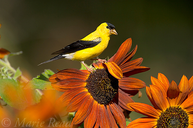 American Goldfinch (Carduelis tristis) male on sunflower in early autumn, New York, USA.<br /> <br /> Woodfall/Photoshot