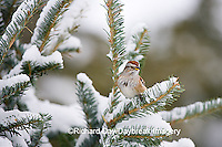 01588-008.11 American Tree Sparrow (Spizella arborea) in Balsam fir tree in winter, Marion Co. IL