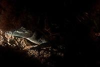 Morelet's crocodile, Central American crocodile, Mexican crocodile, or Belize, Caribbean, Atlantic crocodile, Crocodylus moreletii, hiding under ledge in cenote or freshwater spring near Tulum, Yucatan Peninsula, Mexico, Caribbean, Atlantic
