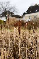 meadow with Cattail during winter season, with architecture as backdrop