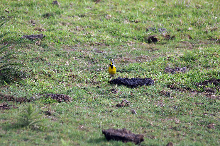 The white cheeks that distinguishs it from the western meadowlark are clearly visible on this eastern meadowlark,