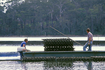 Oyster farmers take young oysters to racks for maturing, called 'depoting'. Narooma, New South Wales