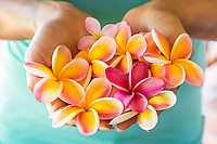 A woman's hands full of yellow and pink plumeria flowers on O'ahu.