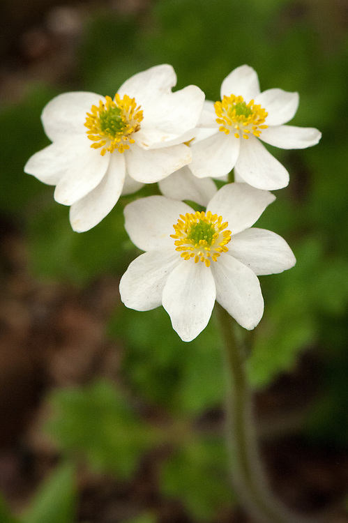 Anemone demissa, mid May. Native to forests, sparse forests, scrub, grassy slopes and streamsides from 3000-5000 metres in Bhutan, northern India, Nepal, Sikkim, Tibet and southwest China.