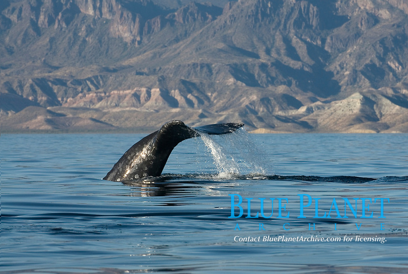 gray whale, Eschrichtius robustus, fluke, Baja California, Mexico, Gulf of California, Sea of Cortez, Pacific Ocean