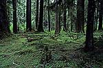 Hoh rain forest moss laden trees lush green foliage Olympic Penninsula Washington State USA