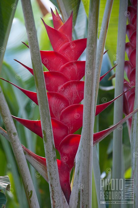 Red heliconia Caribaea lobster claw, Kauai.
