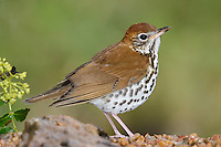 Wood Thrush - Hylocichla mustelina - Adult female