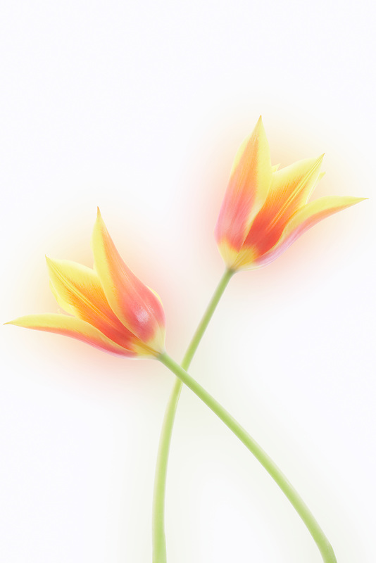 Close up of two tulip flowers.