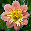 Dahlia 'Pat 'n' Perc', early September.