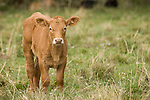 Brazoria County, Damon, Texas; a newborn calf standing in the pasture