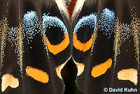 0401-08ss  Close-up of Emperor Swallowtail Butterfly, Scales on Wing, Papilio ophidicephalus © David Kuhn/Dwight Kuhn Photography