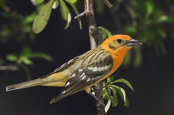 Flame-colored Tanager, Piranga bidentata, male, Madera Canyon, Arizona, USA