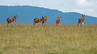 Three adult female and two juvenile Coke's Hartbeests, Alcelaphus buselaphus cokii, in Maasai Mara National Reserve, Kenya