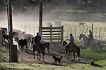 cowboys, cattle, cows and dog, Coleville