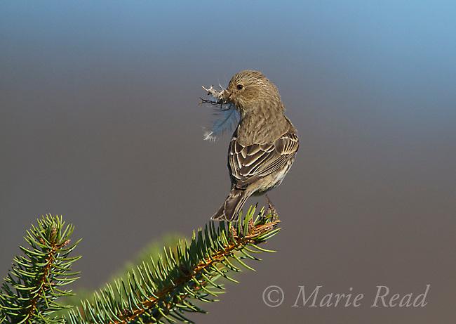 House Finch (Carpodacus mexicanus), female carrying nest material incuding feather, Interlaken, New York, USA (note: she was mostly scavenging material from old nests nearby)