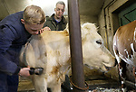 Foto: VidiPhoto<br /> <br /> LUNTEREN &ndash; Leerlingen van vmbo De Meerwaarde in Barneveld worden dinsdag ingezet als kapper voor de 30 stuks jongvee van melkveehouder Henk van den Broek uit Lunteren. Voor sommige leerlingen was dat een compleet nieuwe ervaring. De knipbeurt is onderdeel van de lessen dierhouderij van De Meerwaarde. Al eerder gingen de 80 melkkoeien van de boer onder het mes. Voor het scheren wordt meestal een hele lesdag gereserveerd. Het vee van Van den Broek blijft de rest van de herfst/winter in de warme stal. Een dikke vacht zorgt er voor dat de dieren hun warmte niet goed kwijt kunnen. Bovendien is een korte vacht hygi&euml;nischer. Daarom worden koeien altijd geschoren als ze op stal gaan.