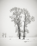 Yellowstone National Park, Wyoming: Cottonwood trees in the Lamar Valley in winter