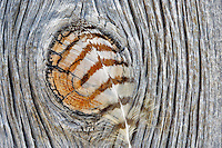 Great Horned Owl feather on barn board. Summer Lake State Wildlife Refuge. Oregon