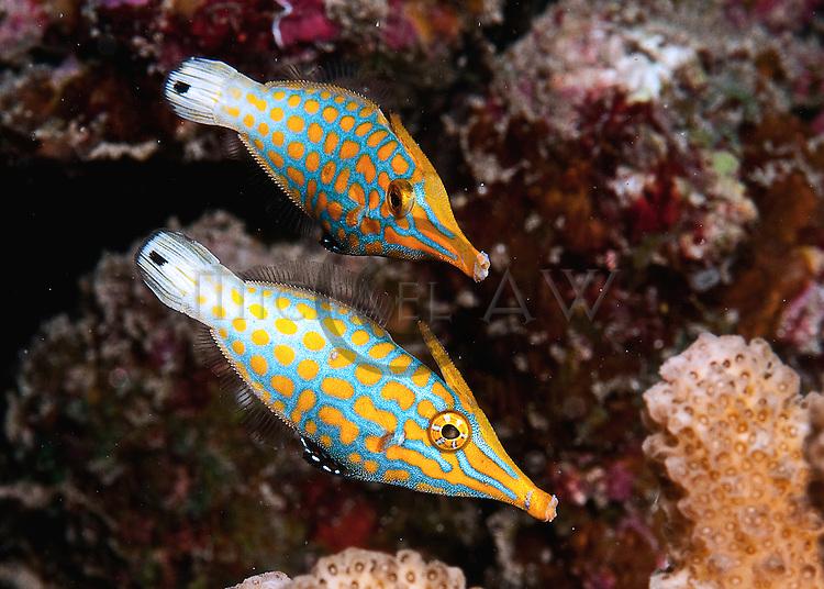 Coral Filefish, Longnose/Coral Filefish (Oxymonacantus longirostris)
