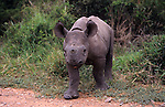 Black rhino calf, Diceros bicornis, Greater Addo National Park, South Africa