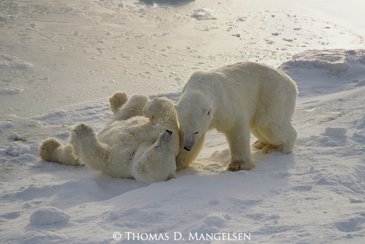 Two adult male polar bears play fight in the snow.