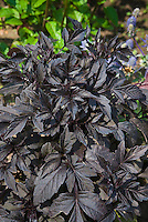 Dahlia 'Knockout' (foliage) dark purple black leaves