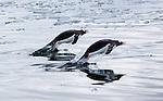Porpoising Gentoo penguins, Antarctica